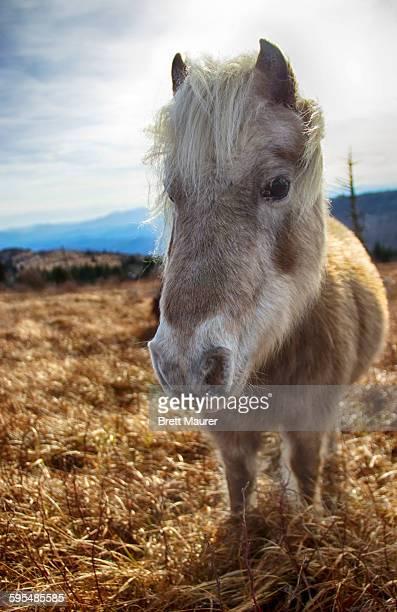 Wild pony on mount Rogers, Virginia