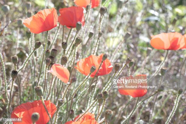 wild poppies, england - love magazine stock pictures, royalty-free photos & images