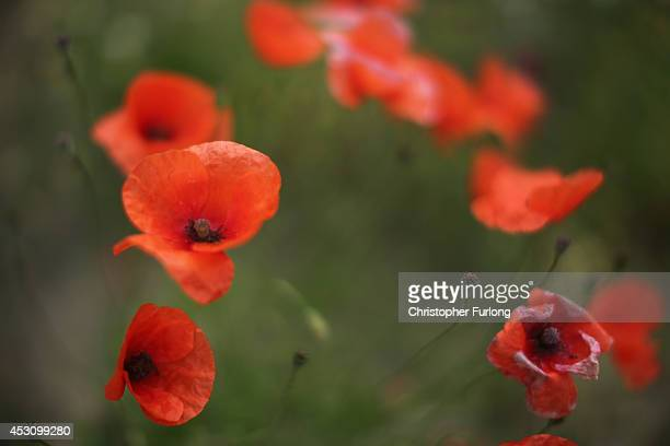Wild poppies grow on the verge of a field near Tyne Cot Military Cemetery on August 2 2014 in Passchendaele Belgium Monday 4th August marks the 100th...
