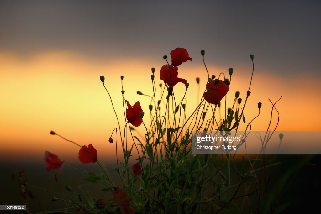Wild poppies grow on the verge of a Flanders field near Tyne Cot Military Cemetery as dawn breaks on the centenary of the Great War on August 4, 2014 in Passchendaele, Belgium. Today marks the 100th anniversary of Great Britain declaring war on Germany. In 1914 British Prime Minister Herbert Asquith announced at 11 pm that Britain was to enter the war after Germany had violated Belgium neutrality. The First World War or the Great War lasted until 11 November 1918 and is recognised as one of the deadliest historical conflicts with millions of causalities. A series of events commemorating the 100th anniversary are taking place throughout the day.