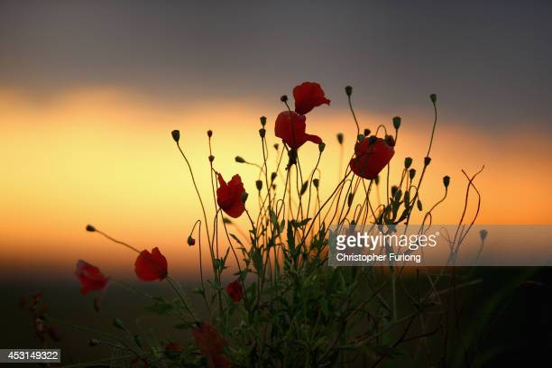 Wild poppies grow on the verge of a Flanders field near Tyne Cot Military Cemetery as dawn breaks on the centenary of the Great War on August 4 2014...