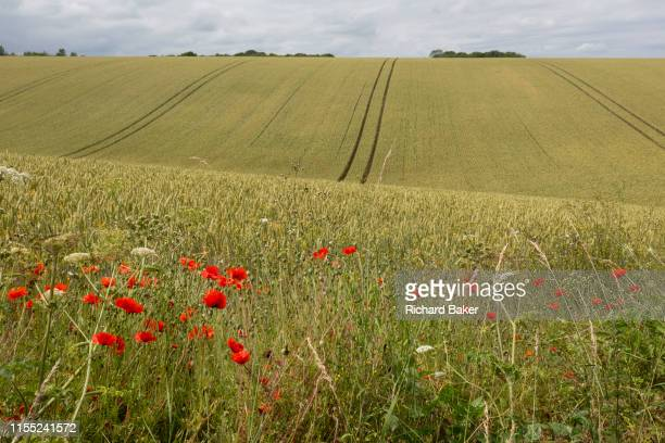 Wild poppies growing on the edge of Kentish agricultural farmland on 7th July 2019 near Doddington Kent England