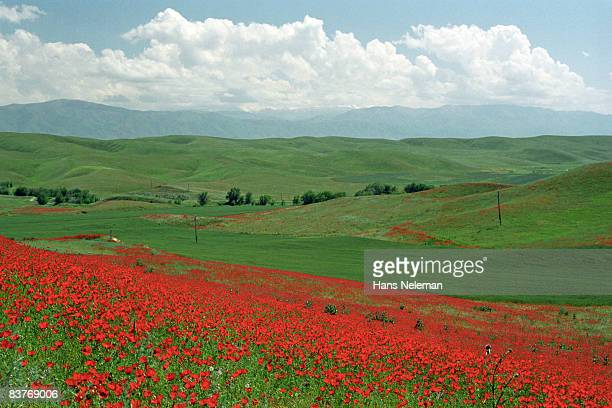 Wild poppies in steppe, in spring