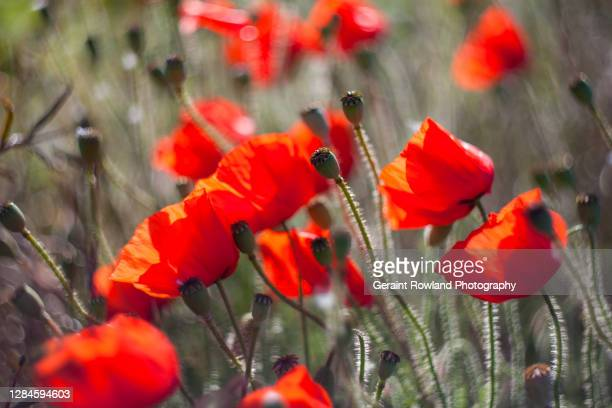 wild poppies - love magazine stock pictures, royalty-free photos & images