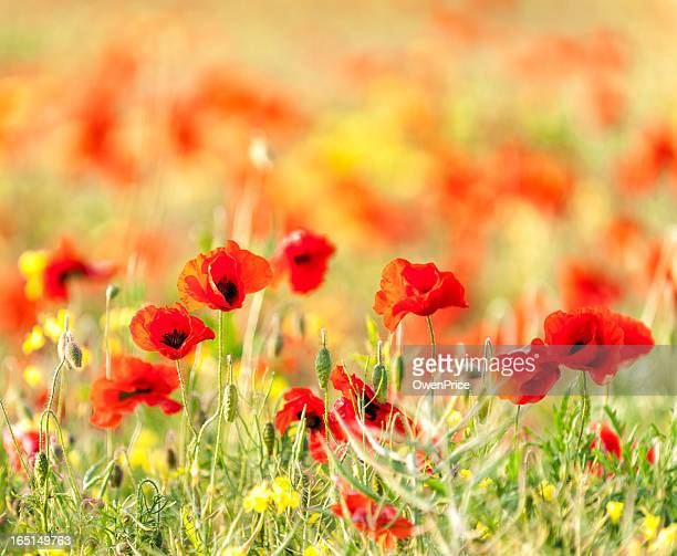 wild poppies - west flanders stock pictures, royalty-free photos & images