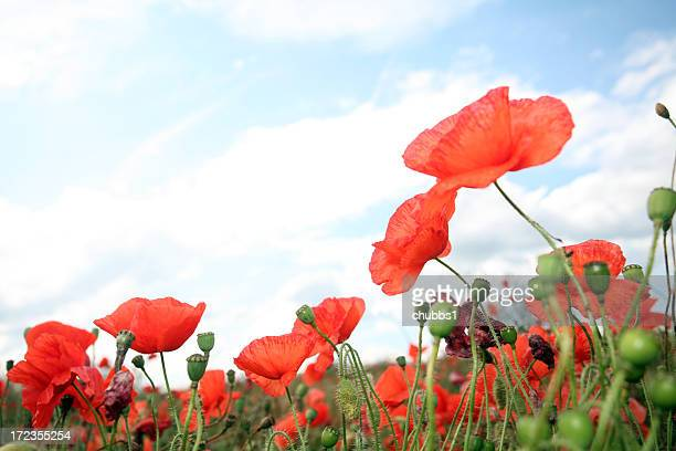 wild poppies - remembrance sunday stock photos and pictures