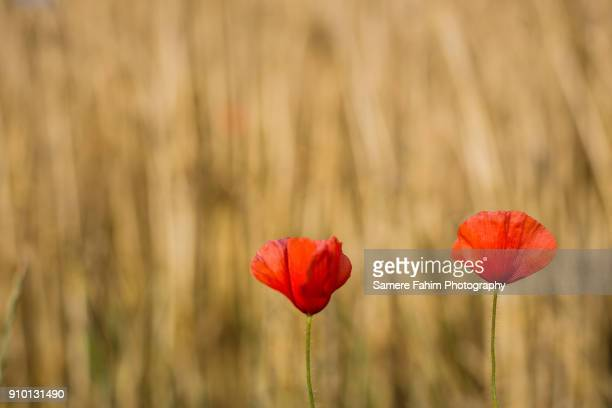 wild poppies - samere fahim stock photos and pictures