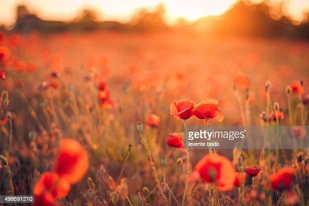 Wild poppy flowers couple in sunset