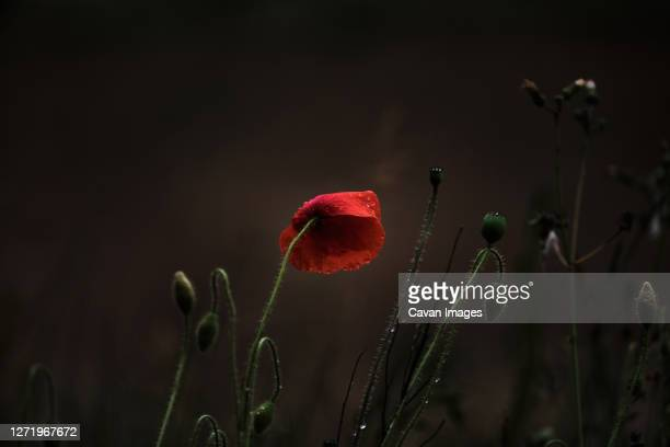 wild poppy growing, last one standing - armistice stock pictures, royalty-free photos & images