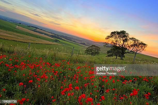 Wild Poppys  at sunrise