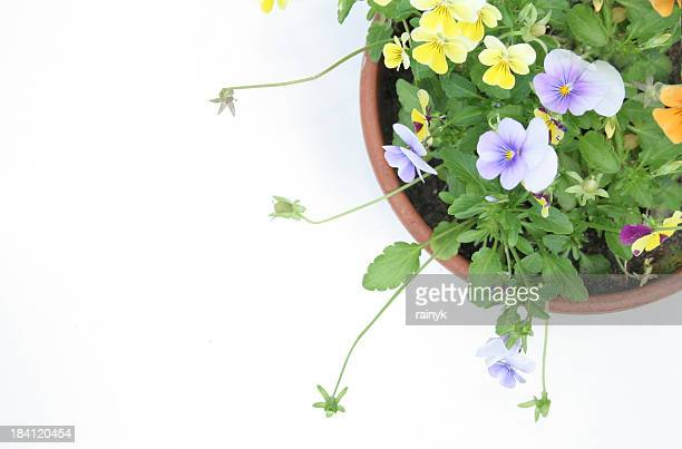 wild pot of pansies - pansy stock pictures, royalty-free photos & images