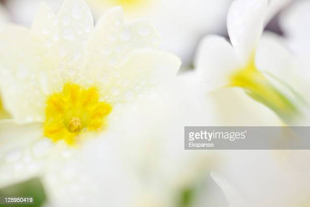 Wild Primrose Close-Up Abstract with Dewdrops on Flower Petals