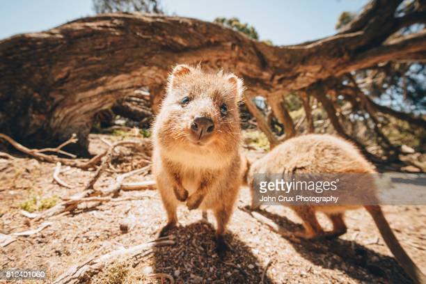 wild quokkas - western australia stock pictures, royalty-free photos & images