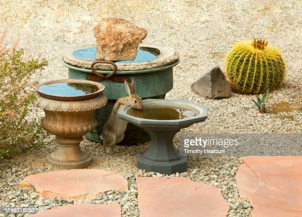 wild rabbit having a drink from one of a trio of birdbaths in a backyard desert garden - timothy hearsum stock pictures, royalty-free photos & images