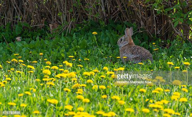 Wild rabbit or bunny sitting under the bushes in a field of blooming dandelions
