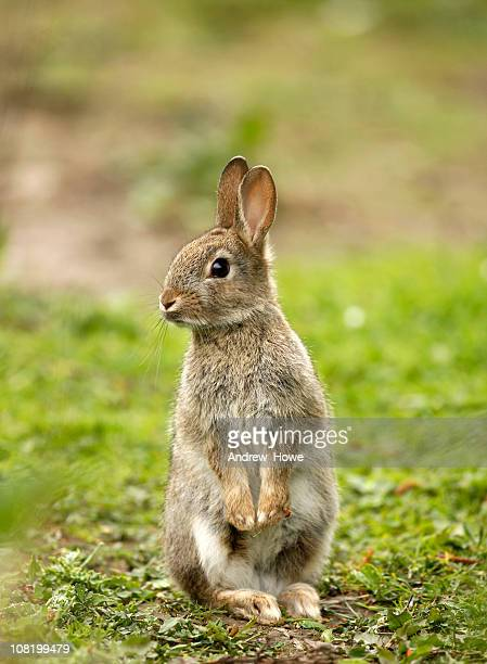 wild rabbit (oryctolagus cuniculus) - wild animals stock photos and pictures