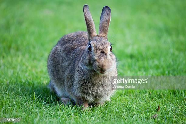 wild rabbit - andrew dernie fotografías e imágenes de stock