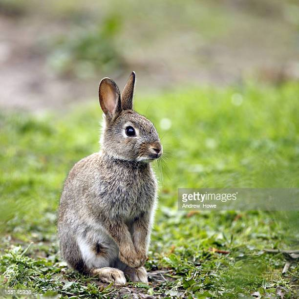 wild rabbit (oryctolagus cuniculus) - animals in the wild stock pictures, royalty-free photos & images