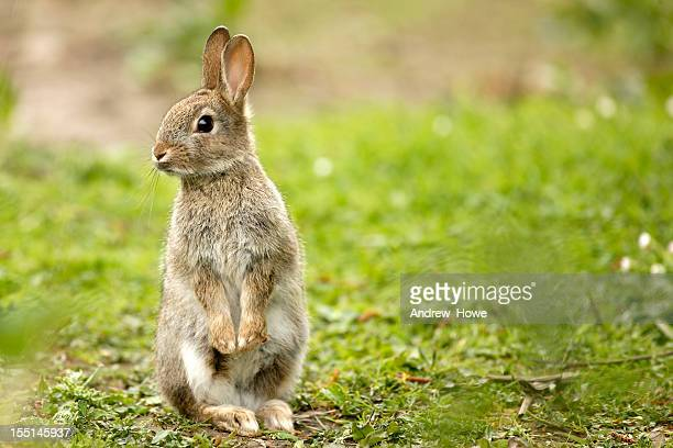 wild rabbit (oryctolagus cuniculus) - animals in the wild stock photos and pictures