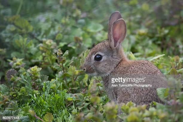wild rabbit - coniglietto foto e immagini stock