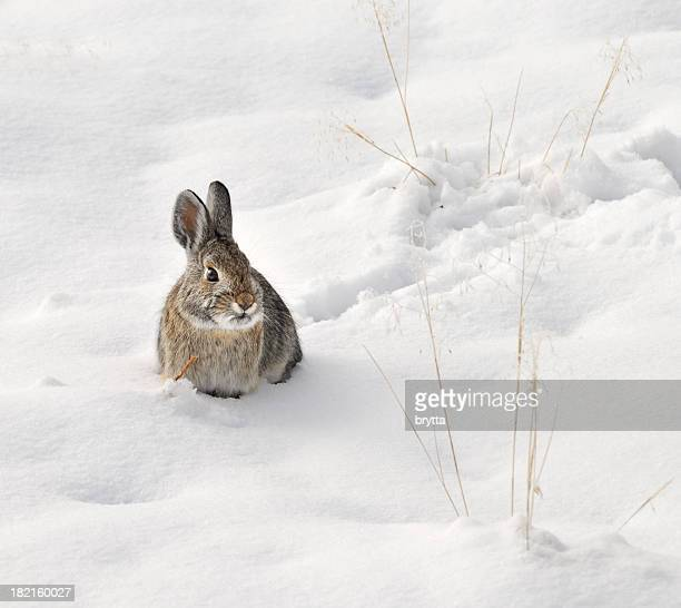 Wild rabbit sitting in the snow