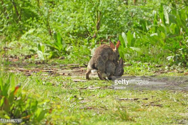 60 Top Wild Rabbit Pictures, Photos and Images - Getty Images