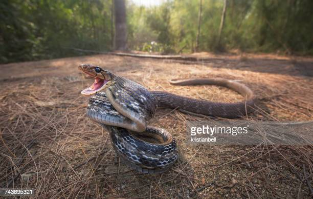 wild radiated rat snake (coelognathus radiata) on the attack, hua hin, thailand - rat snake stock photos and pictures