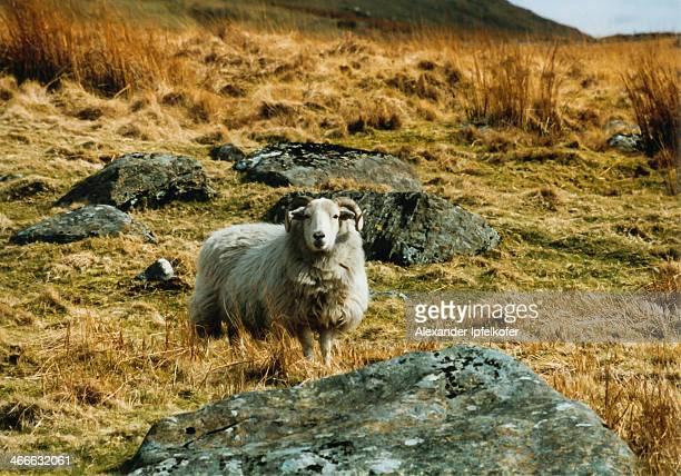 Wild Ram Encounter at Mount Snowdon
