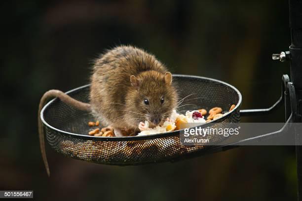 Wild rat on bird feeder