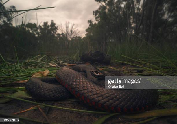 wild red bellied blacksnake (pseudechis porphyriacus) resting near swamp - australia - black snake stock pictures, royalty-free photos & images
