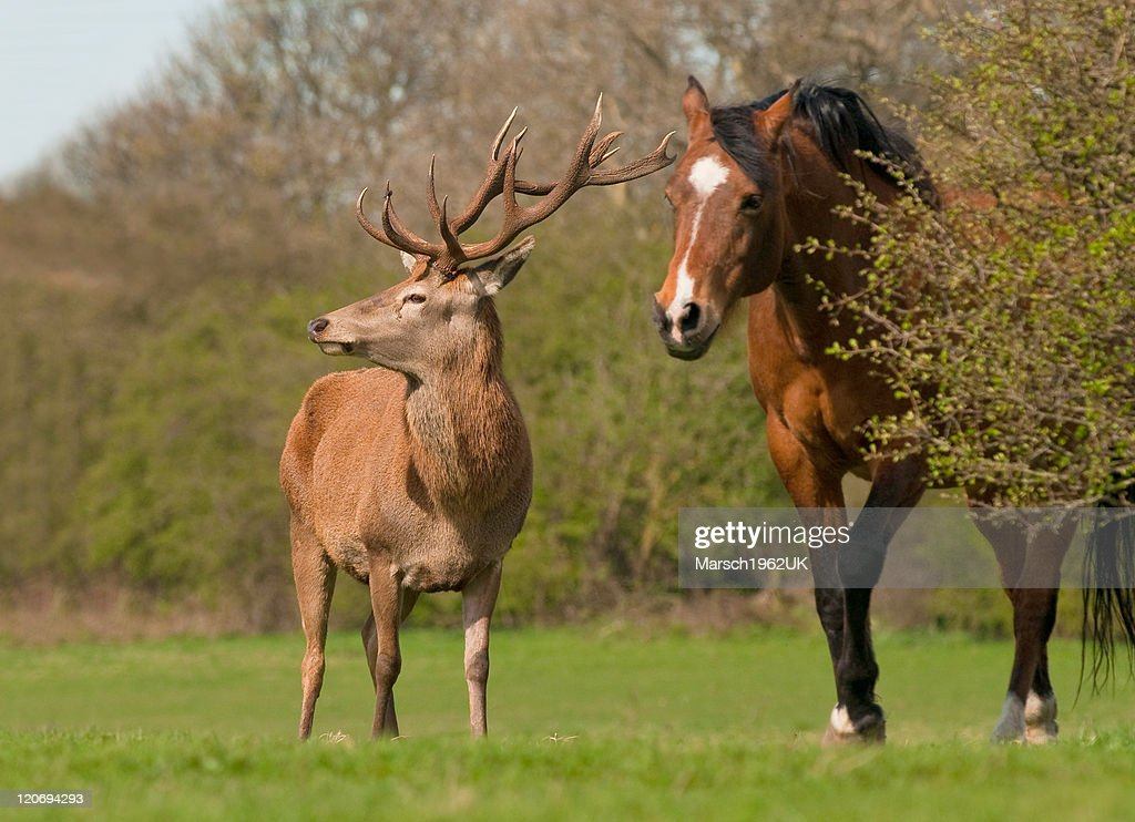Wild red deer stag and horse : Stock Photo