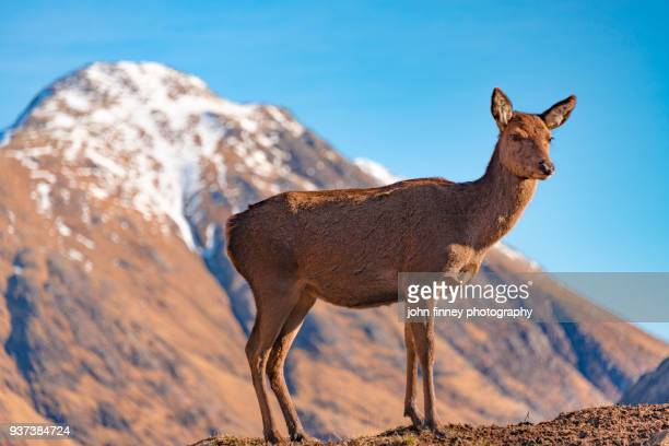 Wild Red Deer with a snow capped mountain, Glen Etive, Scottish Highlands.