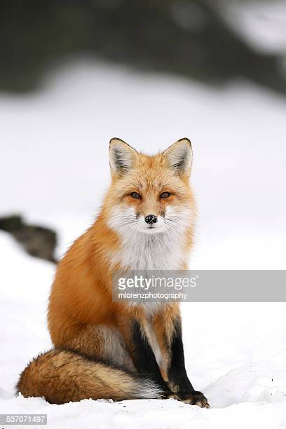 Wild Red Fox In Winter