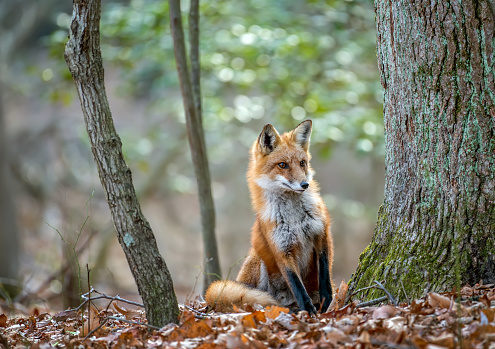 Wild Red Fox peeking around a tree in a forest 916650566