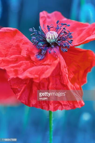 wild red poppy flower macro close up, classic blue background - memorial day background stock pictures, royalty-free photos & images