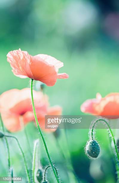 wild red poppy flowers macro close up, bokeh green grass background - armistice stock pictures, royalty-free photos & images