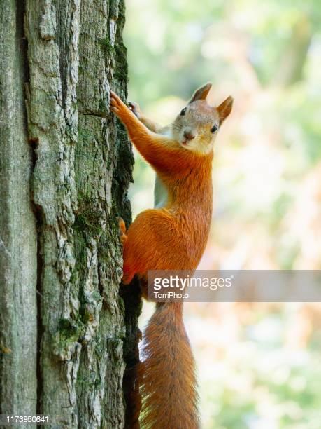 wild red squirrel in park - リス ストックフォトと画像