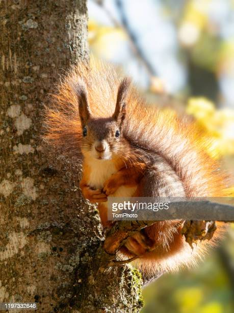 wild red squirrel sitting on tree branch at sunny day - eurasian red squirrel stock pictures, royalty-free photos & images