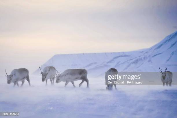 Wild reindeer forage for food on the island of Spitsbergen on the Svalbard archipelago in the Arctic circle as the Norwegian islands enter summer...