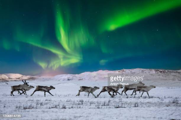 wild reindeer on the tundra on the background of the northern lights - norway stock pictures, royalty-free photos & images