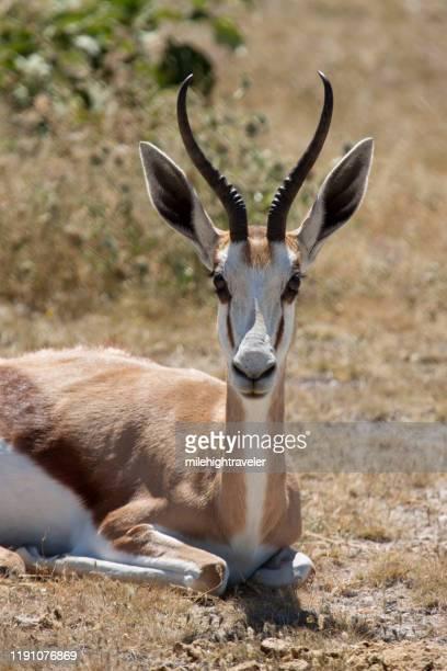 wild resting springbok antelope etosha national park namibia - milehightraveler stock pictures, royalty-free photos & images