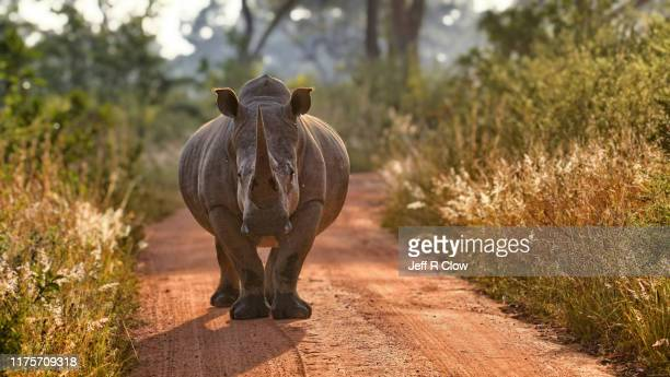 wild rhino in south africa - threatened species stock pictures, royalty-free photos & images