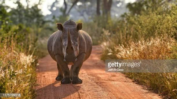 wild rhino in south africa - especies amenazadas fotografías e imágenes de stock