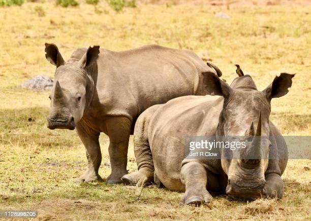 wild rhino mother and child in africa - 2匹 ストックフォトと画像