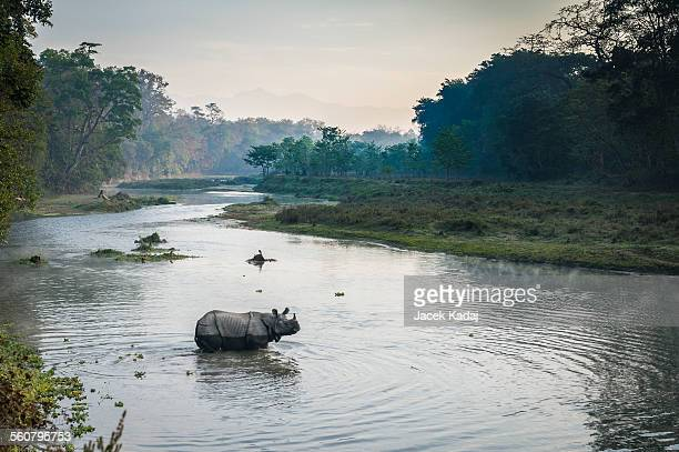wild rhinoceros crosing river at sunrise. - chitwan stock pictures, royalty-free photos & images