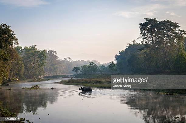 Wild Rhinoceros crossing river