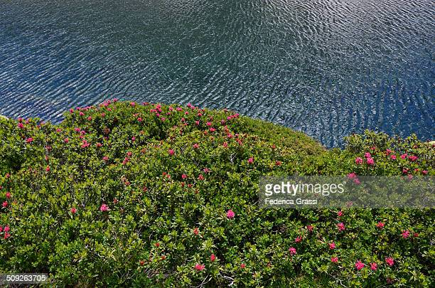 Wild Rhododendrons and blue lake