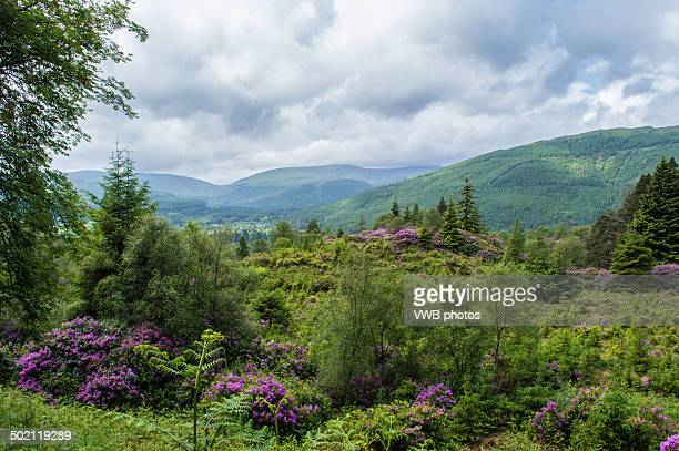 Wild Rhododendrons and Mountain Landscape Scotland