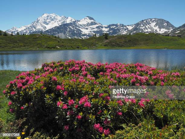 Wild Rhododendrons At Hopschusee, Simplon Pass