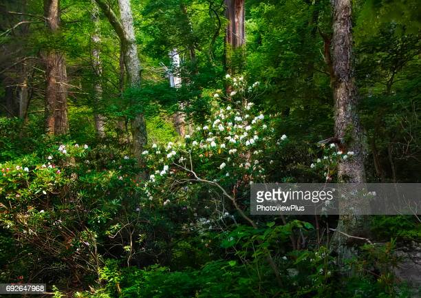 Wild Rhododendrons in Bloom